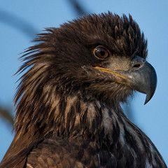 Headshot of Immature Bald Eagle