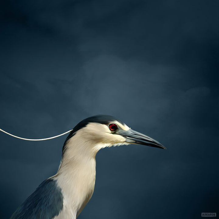 Black Cap Heron - Julian Hindson