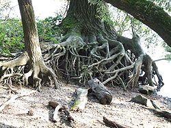 Uitgebreid artikel over boomwortels op Wikipedia  https://nl.wikipedia.org/wiki/Wortel_(plant)