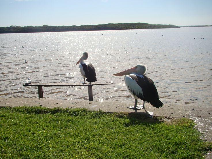 Pelicans on Blackwood River, Augusta, Western Australia