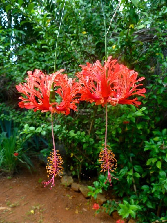 Les 25 meilleures id es concernant fleurs tropicales sur for Plante pendante