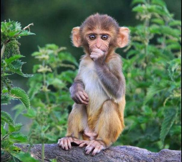 Baby Rhesus Macaques ♥