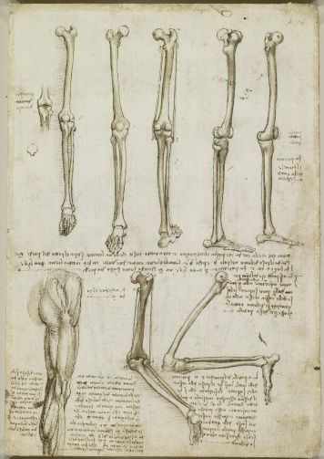 Recto: The bones and muscles of the leg. Verso: The muscles of the shoulder, arm and neck   Royal Collection Trust