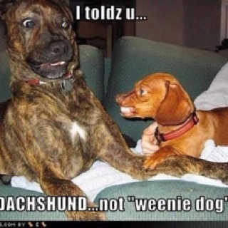 : Animals, Dogs, Dachshund, Pet, Doxie, Funny Stuff, Funnies, Funny Animal