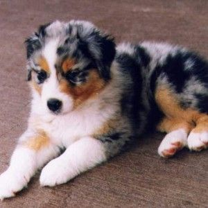 Medium sized dogs are a great choice If a big dog is just too big and the little dogs are just too small for you, then you may want to consider getting one - http://encyclopediaofdogbreeds.com/medium-dog-breeds/ Aussie
