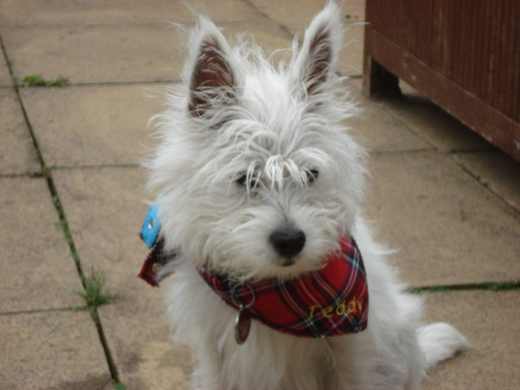 Teddy - the West highland terrier at Scottish Terrier Tours