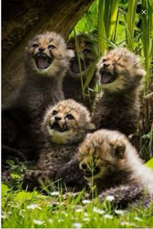 Cheetah cubs where they are most happy , the wild !  http://www.youcaring.com/stop-the-bloodshed-save-the-lions-419909
