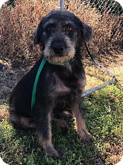 RESCUE DOGS ROCK - New York, NY - Standard Schnauzer Mix. Meet Katie, a dog for adoption. http://www.adoptapet.com/pet/17910511-new-york-new-york-standard-schnauzer-mix