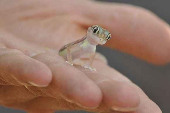 Oh hey There!Friends, Butter, Minis, Baby, Frogs, Amphibians, Lizards, Geckos, Animal
