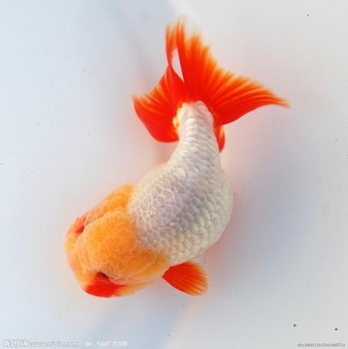 ranchu goldfish   Tumblr