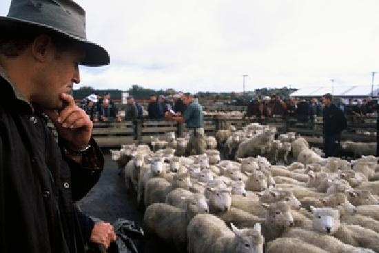 Sheep Auction - Feilding SaleYards, New Zealand