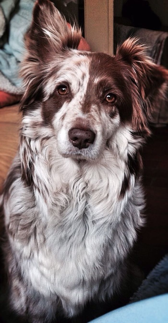 Gorgeously patterned Red Australian Shepherd; such a beautiful face..............It would be so amazing if I could have him he is so HANDSOME!