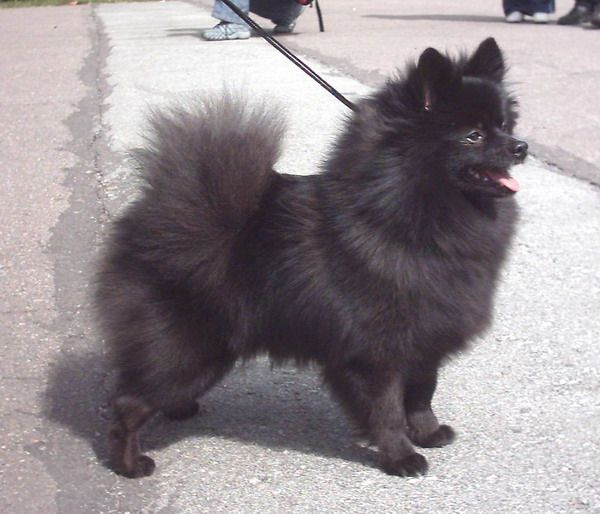 The German Spitz wants little exercising when compared with other bigger breeds.