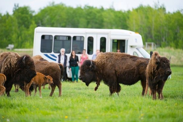 Get up close and personal with the bison and learn about their role in Manitoba's history when you take a guided Bison Safari!  Win your Winnipeg adventure including flight, hotel and an adventure YOU choose! Visit http://www.tourismwinnipeg.com/pin-and-winnipeg to enter!