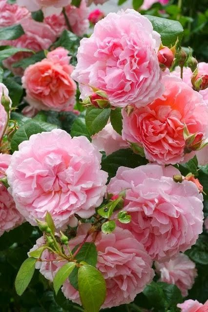 Strawberry Hill Rose. Hardy, medium shrub with excellent repeat. Medium sized, pure rose pink, cupped rosettes. Colour gradually pales to a lighter pink at the edges of the petals. Growth is tall, vigorous, with small clusters of blooms held on slightly arching brances. Strawberry Hill is very healthy with glossy, dark green foliage. This is a wonderful choice for a position to the rear of a mixed border, or for a border of shrub roses. A strong and delicious myrrh and (heather) honey…
