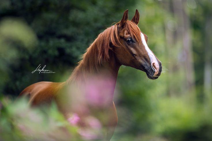 Hübscher Araber Fuchs Wallach steht im Wald | Pferd | Bilder | Foto | Fotografie | Fotoshooting | Pferdefotografie | Pferdefotograf | Ideen | Inspira…
