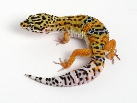 Halloween Mask Leopard Gecko.Tangerine X Halloween Mask Leopard Gecko 051614b Male Cold