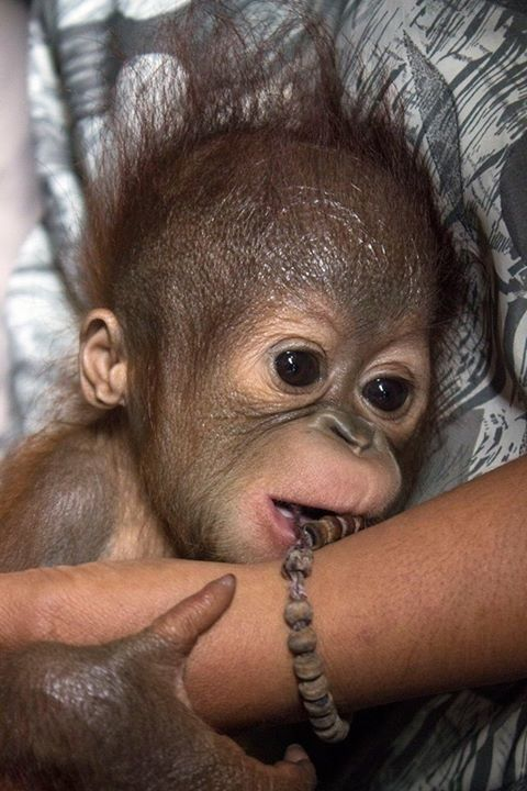 Mystery Surrounds Baby Orangutan Left Alone In Forest - The Dodo