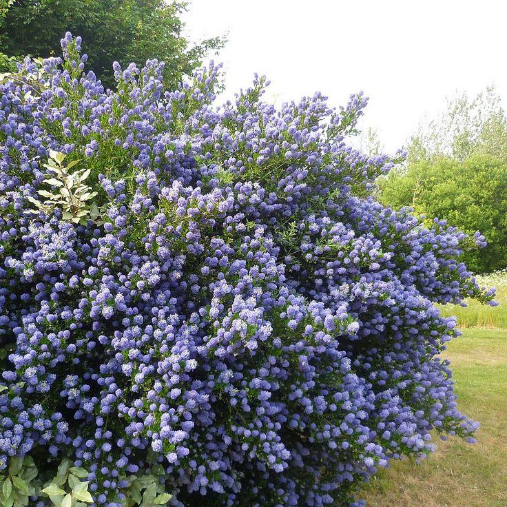 skylark ceanothus | Ceanothus thyrsiflorus 'Skylark' - Céanothe persistante bleue.  Besoin en eau régulier, Tailler après la floraison, pour supprimer les fleurs fanées et assurer le renouvellement des jeunes pousses. zone 2