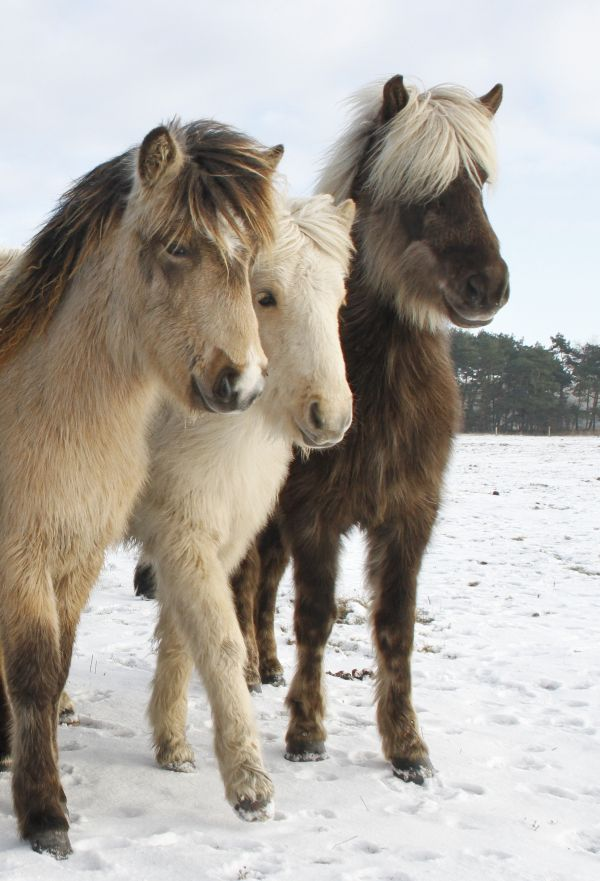 Pretty fuzzy ponies in the snow.