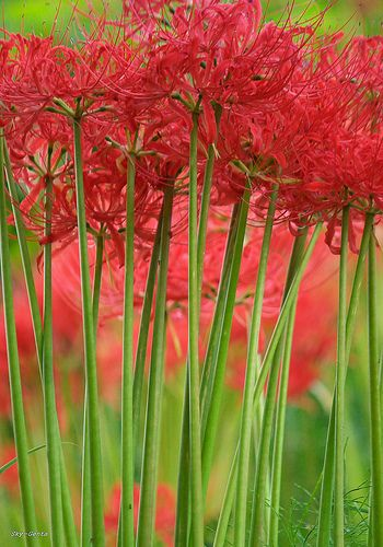 """Red spider lilies - it's a surprise lily. The small leaves die down in the spring and then in the fall the 15"""" tall flower spikes emerge."""