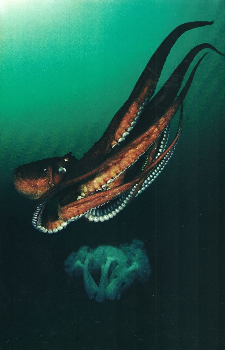 Giant octopus propels itself by jetting water past its eight sucker covered arms National Geographic   April 1980
