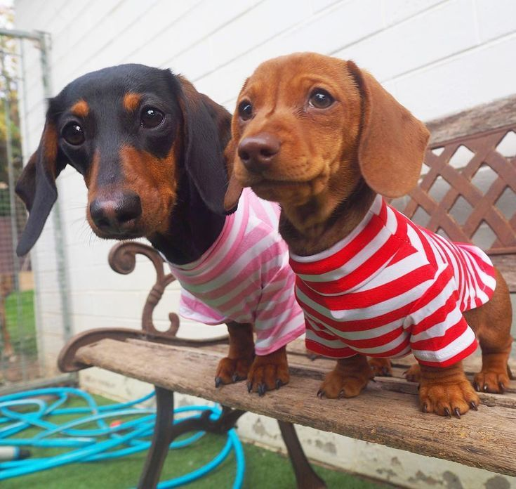 Dachshund Dog Fashion Dachshund Fashion Pet Fashion Sausage Dog