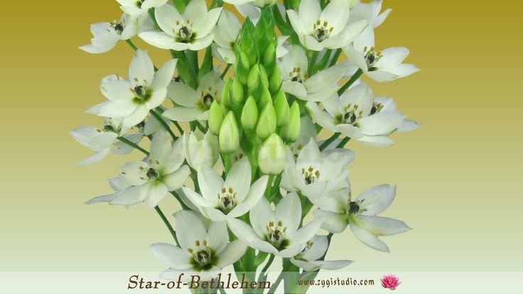 """Timelapse of Opening """"Star-of-Bethlehem"""" flower."""
