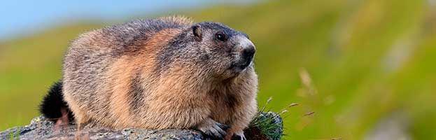 Marmota canadiense