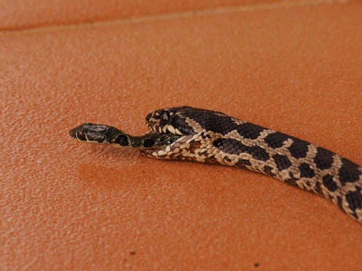 Picture of a snake crawling out the mouth of a dead snake, escaping being eaten. Photograph by Dick Mulder