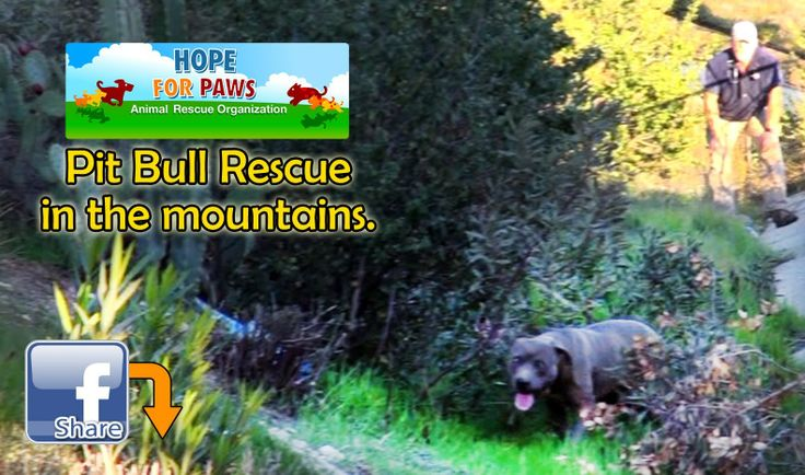 Mountain rescue of an abandoned injured Pit Bull - Please Pin, share, donate: http://www.HopeForPaws.org Thanks! Eldad