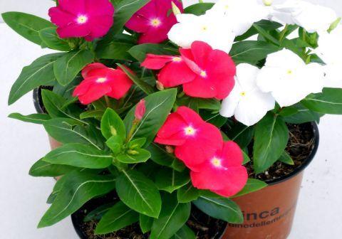 Vinca (pervinca, sposini): pianta perenne con fioritura abbondante per giardini, bordure, aiuole, terrazzi e balconi