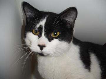 Siamese Cat Adoption Washington State
