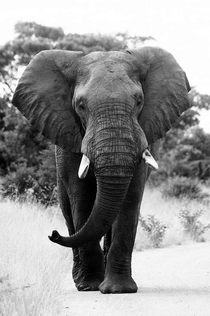 africa male bull elephant kruger national park south