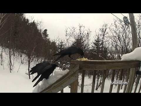 """""""Slow Motion Crows"""" (Triton Newfoundland)  Observe the usually pesky black Crow in ultra-slow motion... you may appreciate how gracefull these birds are... serene view with calming music... my first attempt at ultra- slow motion so  rate, share and subscribe..."""