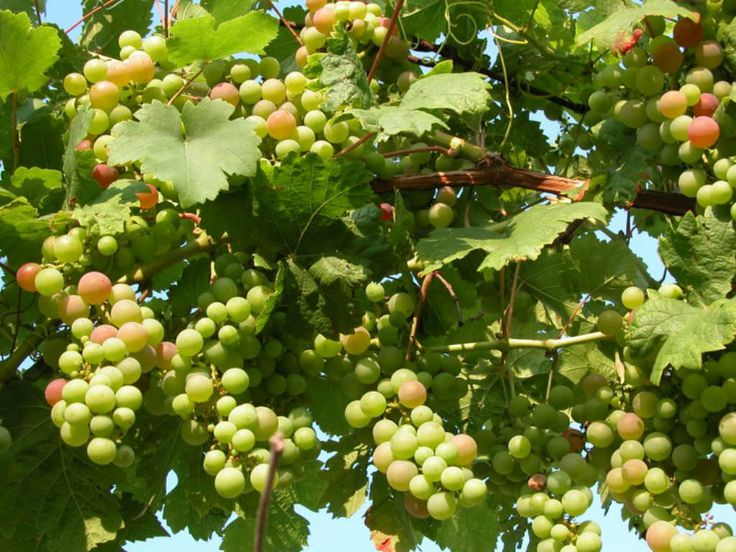 How to Grow and Care for Grapevines (Vitis vinifera): Grapevines need a sunny spot to grow and tolerate most soils, but are particularly suited to those with a high pH. They do not mind chalky...