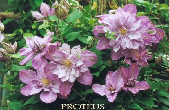 Clematis Proteus