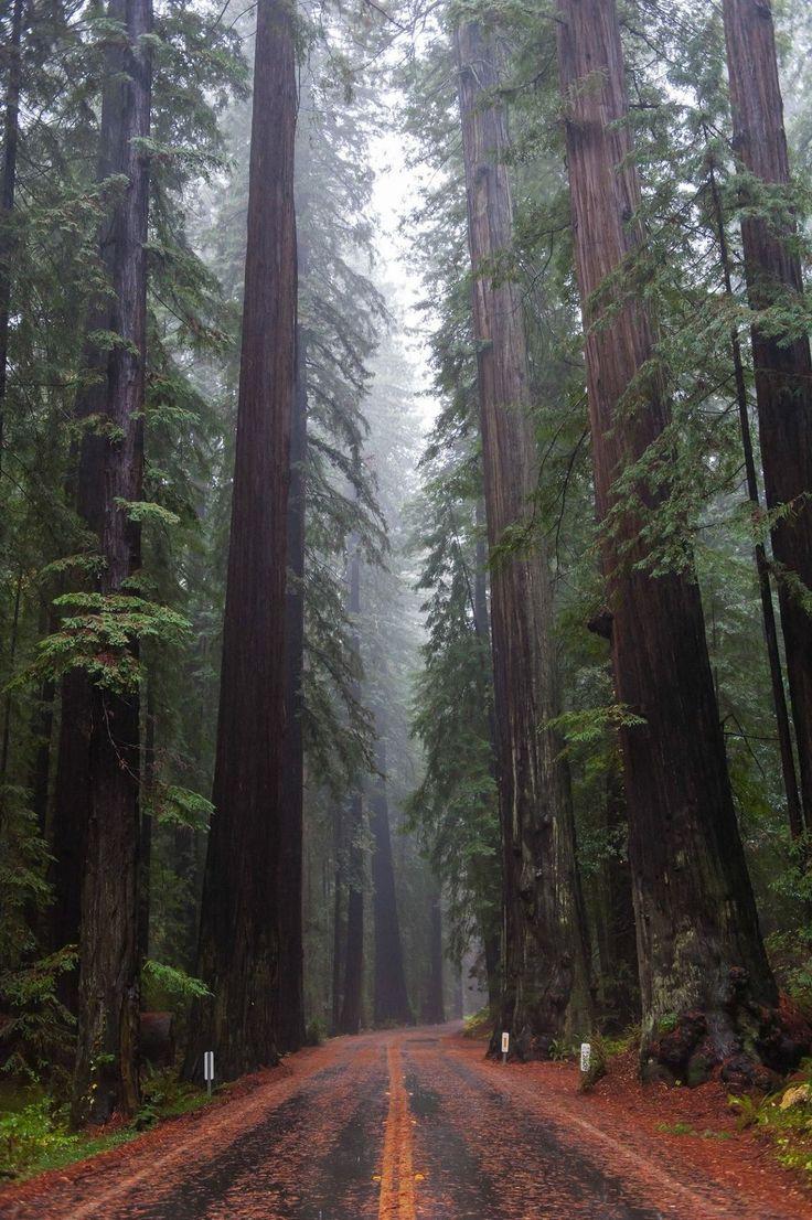 California Redwoods by Sam Strickler