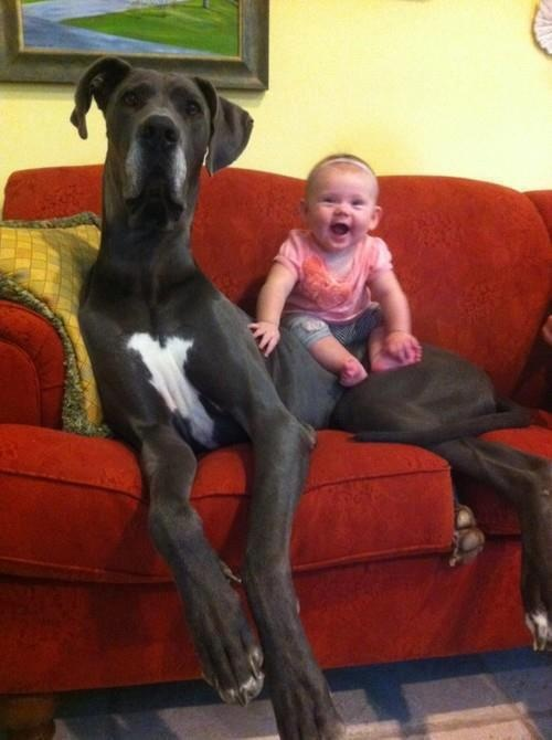 Dog Alemão: Giant Dogs, Great Danes, Huge Dogs, Pet, Greatdan, Baby, Big Dogs, Animal, Kid