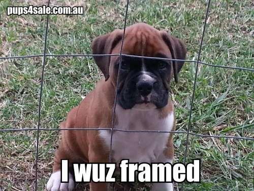 Boxer puppies for sale @ www.pups4sale.com.au