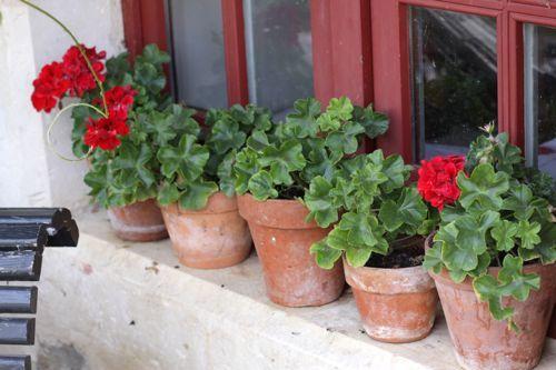 geraniums in window