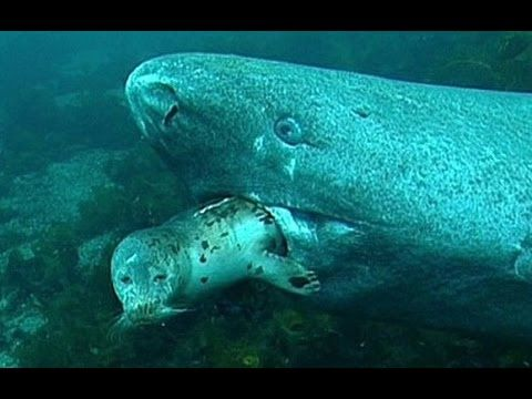Greenland Shark Vs Polar Bear Bing Images