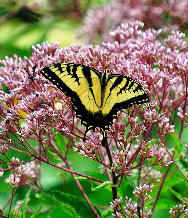 Male Eastern Tiger Swallowtail On Joe Pye Weed August 1 · Garden  TipsBotanical GardensNative PlantsNantucketButterfliesPerennialsWeeding GeorgiaCoastal