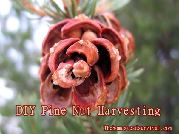 DIY Pine Nut Harvesting - Homesteading  - The Homestead Survival .Com