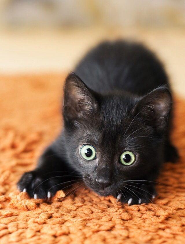 Many Black Cats Gif