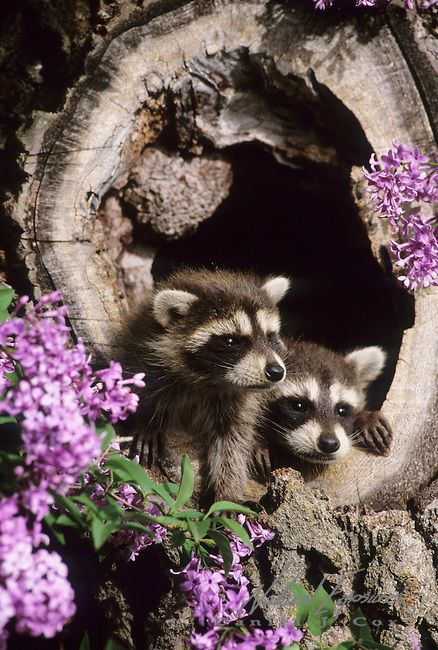 Raccoon in a hollow log near a lilac bush in Montana. Captive Animal