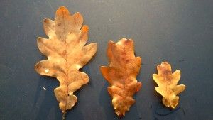 Uppdrag 8A: NATURSPANARNA Hitta ett stort och ett litet löv! Hitta fler löv och sortera dem efter storlek. Här får du svaren och hittar fakta: http://naturspanarna.se/bladeniskogenhosten-2/