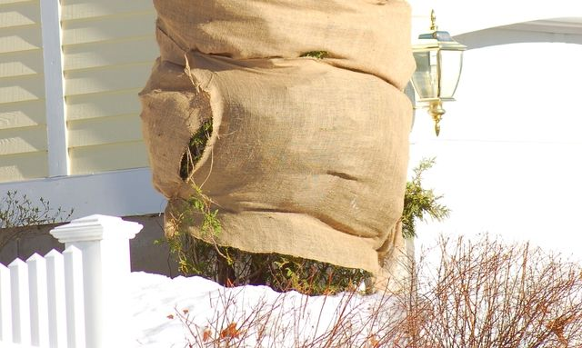 Use Tree Wrap, Shelters to Guard Shrubs Against the Wintry Onslaught: Often, part of preparing for winter in the North is applying tree wrap to evergreen bushes. Drying winds of winter and any newly planted evergreens are highly susceptible to such wind damage