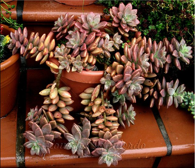 Plantas de cultivo artesanal. Se trata de la venta de plantas y esquejes una colección privada. Las imágenes son sólo orientativas. En el lateral derecho tenéis el listado de plantas que se venden. Haciendo click en cada uno os remiten a la imagen de la planta y al precio de la misma.