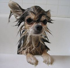 homemade pet shampoo and flea shampoo